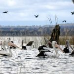 pelicans at winton wetlands