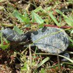 Discover_-Baby-Eastern-Long-Neck-Turtle-Winton-Wetlands-web.-H-Repacholi