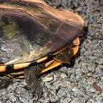 Eastern Long Neck Turtle at Winton Wetlands photo by H Repacholi