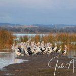 Julie Harrison pod of pelicans