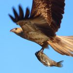 Bird of prey with fish