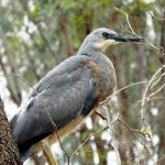 Juvenile White Faced Heron - photo by H Repacholi