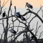 Suzey Barker Pelicans