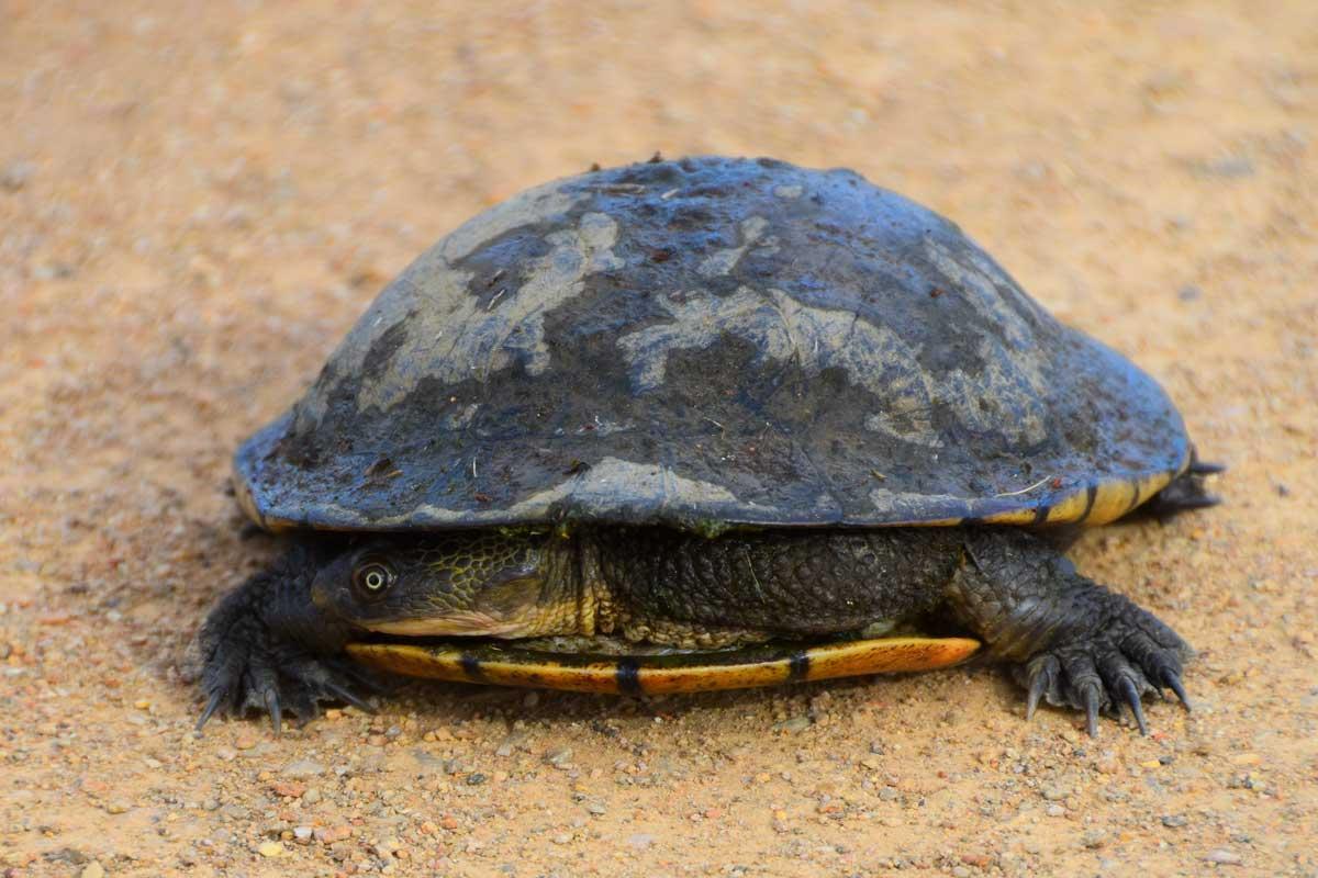 Long necked turtle Lake Mokoan