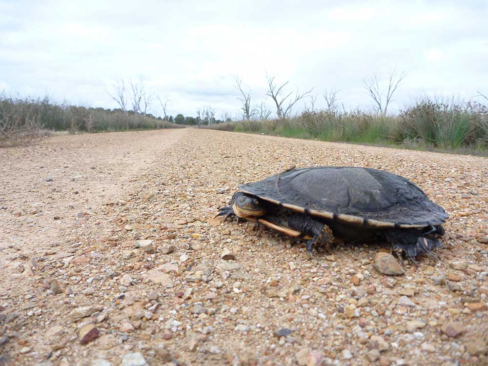 Long Necked Turtle at Winton Wetlands
