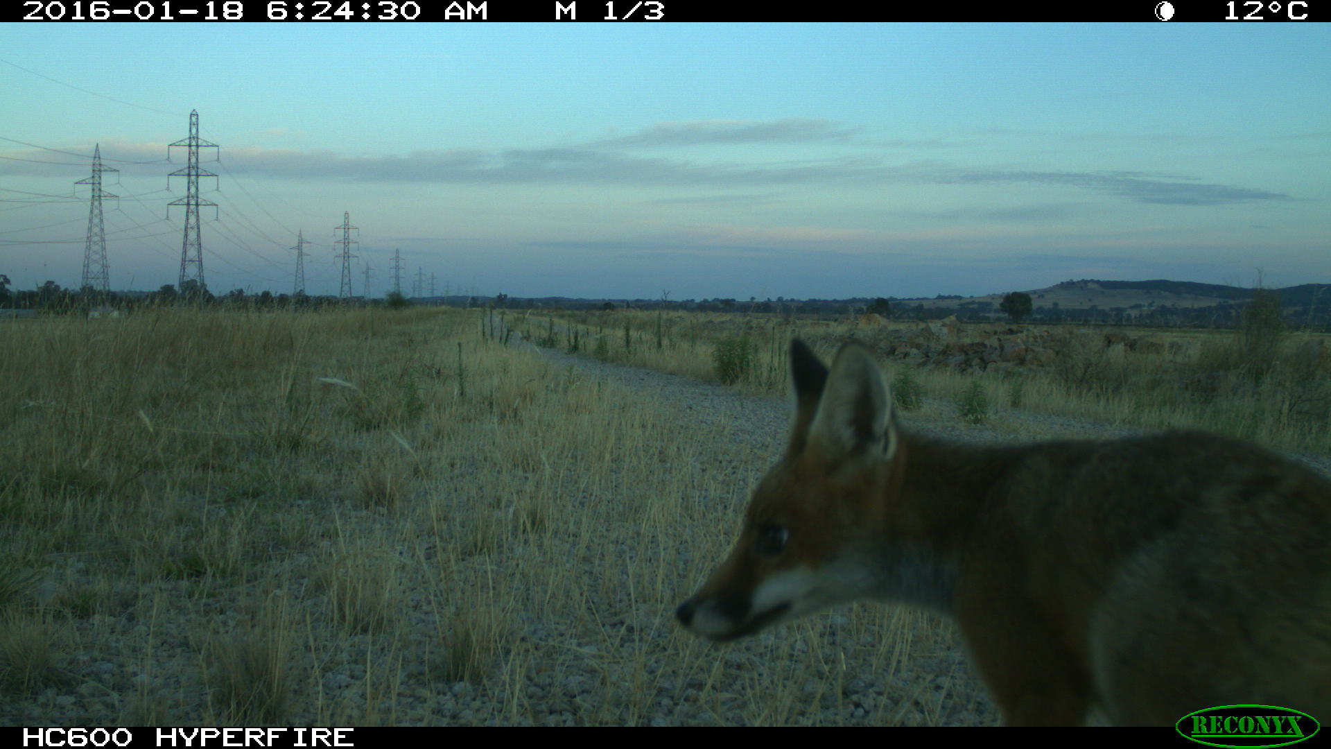 Fox on the dam wall at Winton Wetlands
