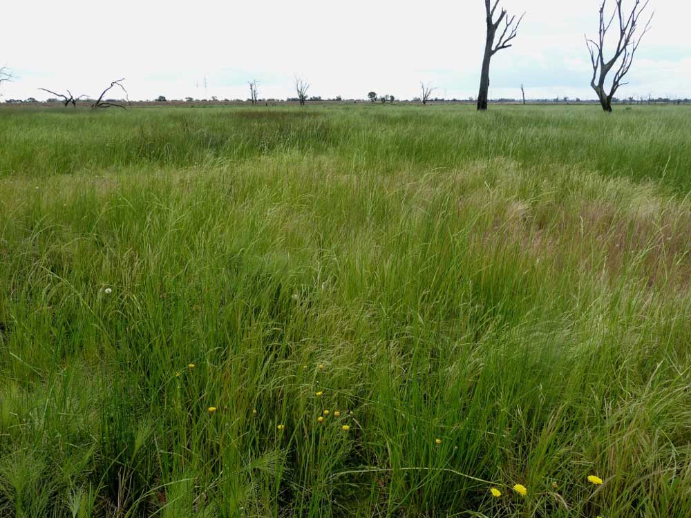 Extensive areas of Swamp Wallaby Grass