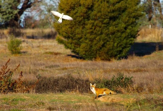 Fox at Winton Wetlands photo by Matt Devine