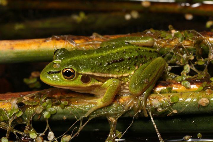 Growling Grass Frog – will we hear them growl again?