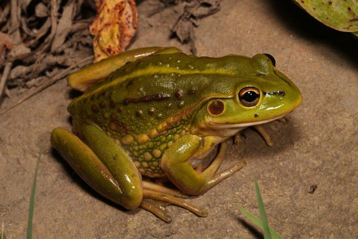 Frog ID Week